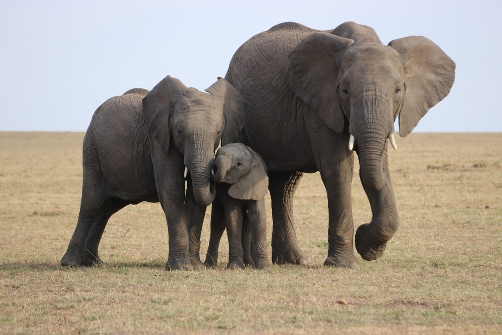 three gray elephants on green grass field during daytime