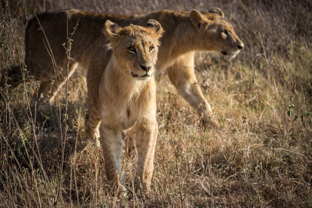 brown lioness on brown grass field during daytime