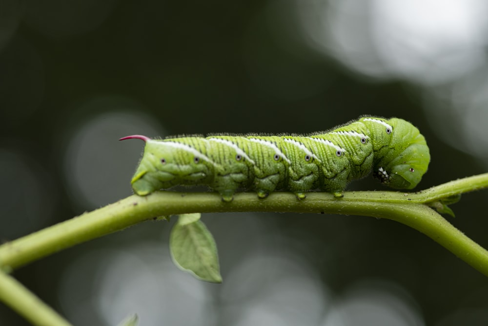 green caterpillar on green leaf in close up photography during daytime
