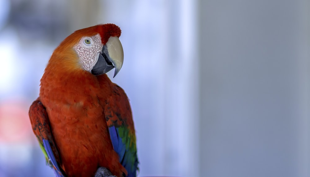 red blue and yellow macaw