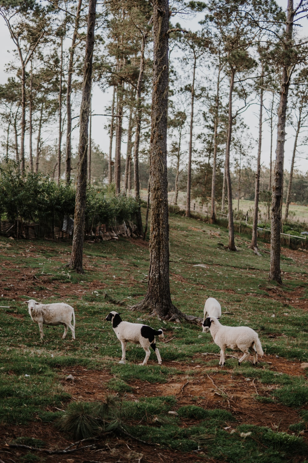 white and black goats on green grass field
