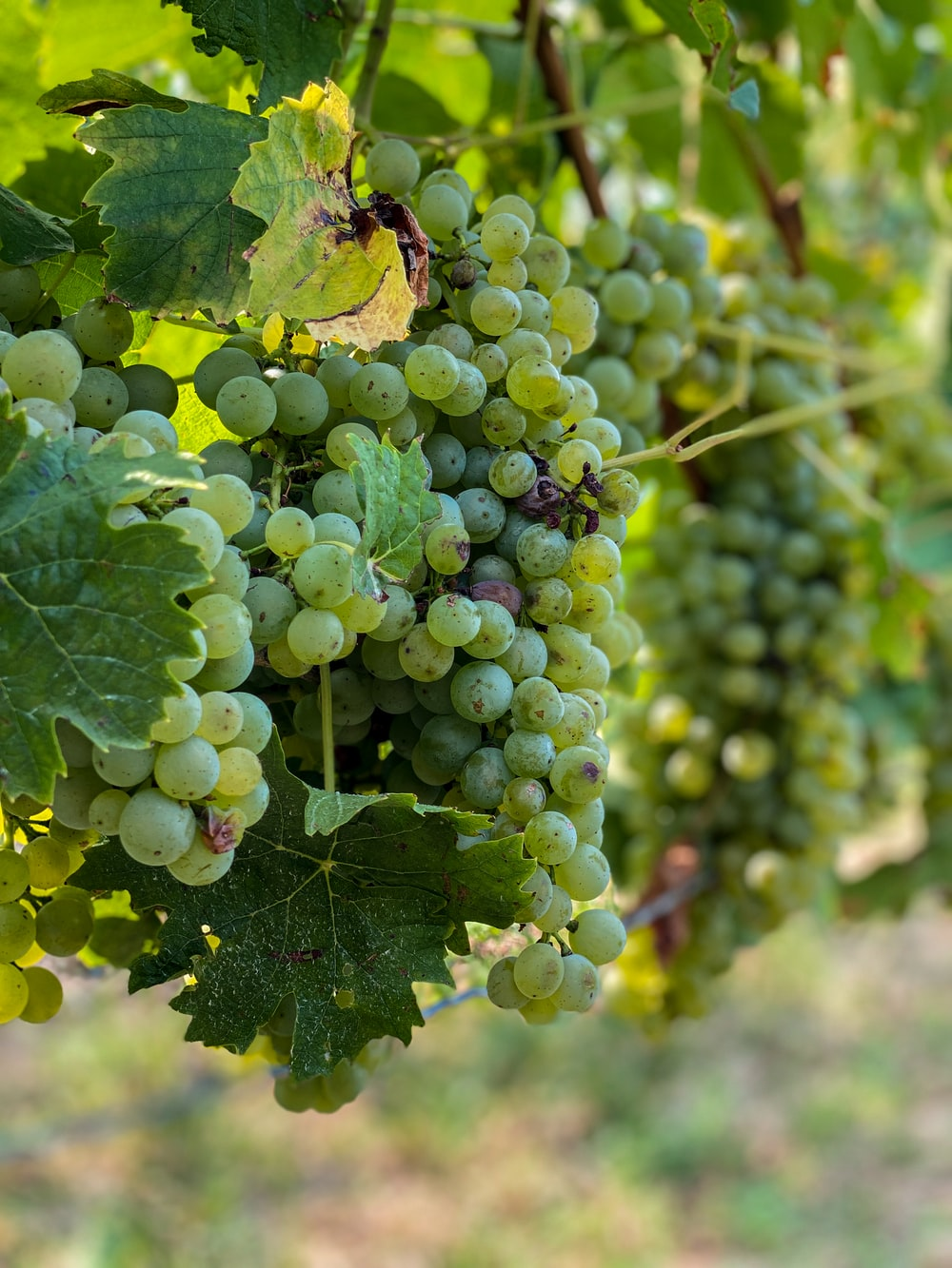 green grapes in close up photography during daytime