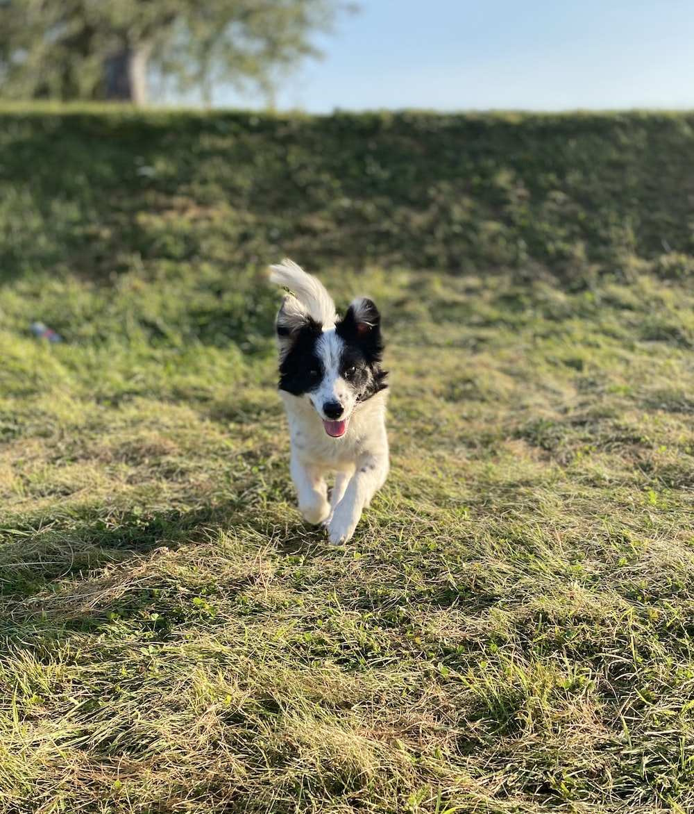 black and white border collie running on green grass field during daytime