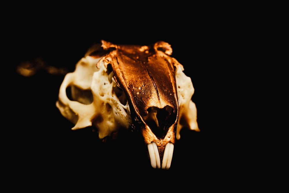 brown and white skull with black background