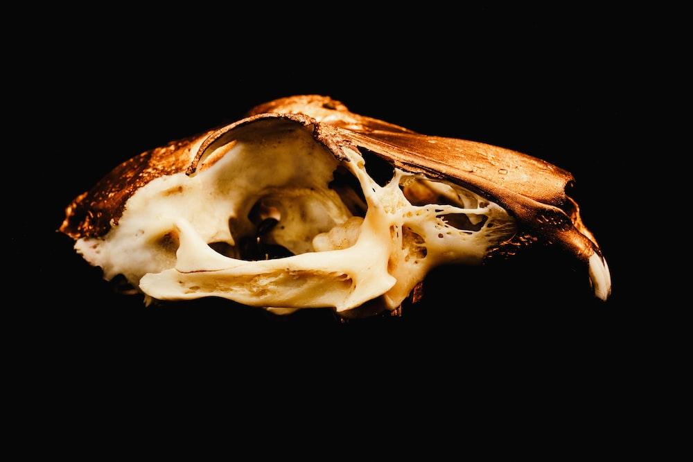 white and brown animal skull