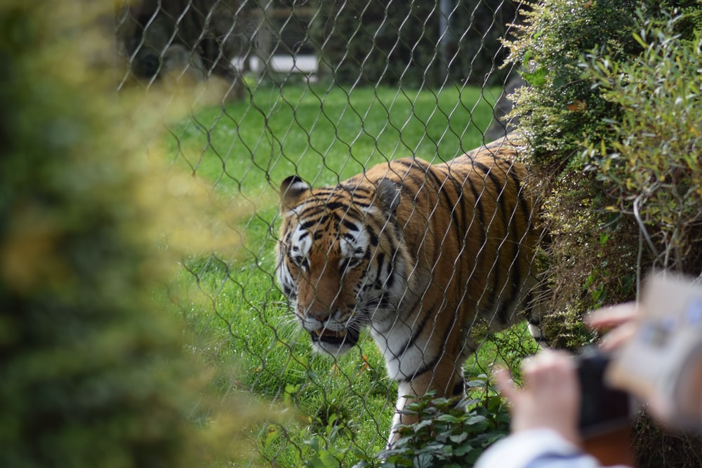 brown and black tiger walking on green grass during daytime