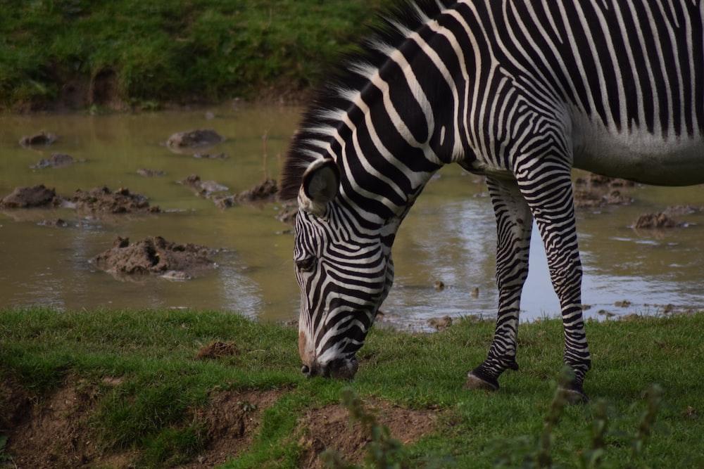 zebra drinking water on river during daytime