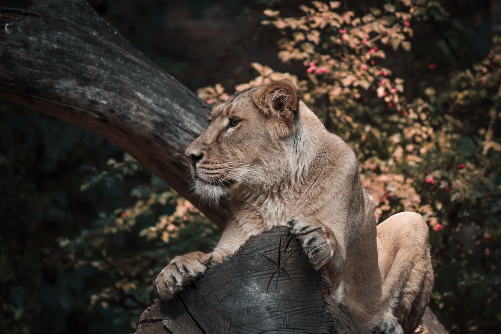 brown lioness lying on brown tree log during daytime