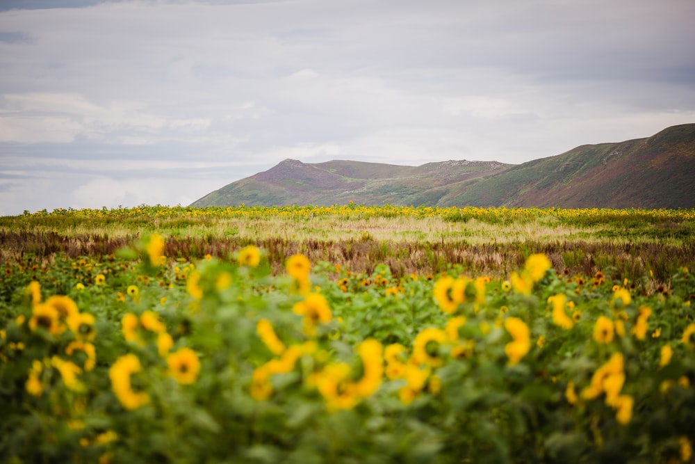 yellow flower field near green mountains during daytime