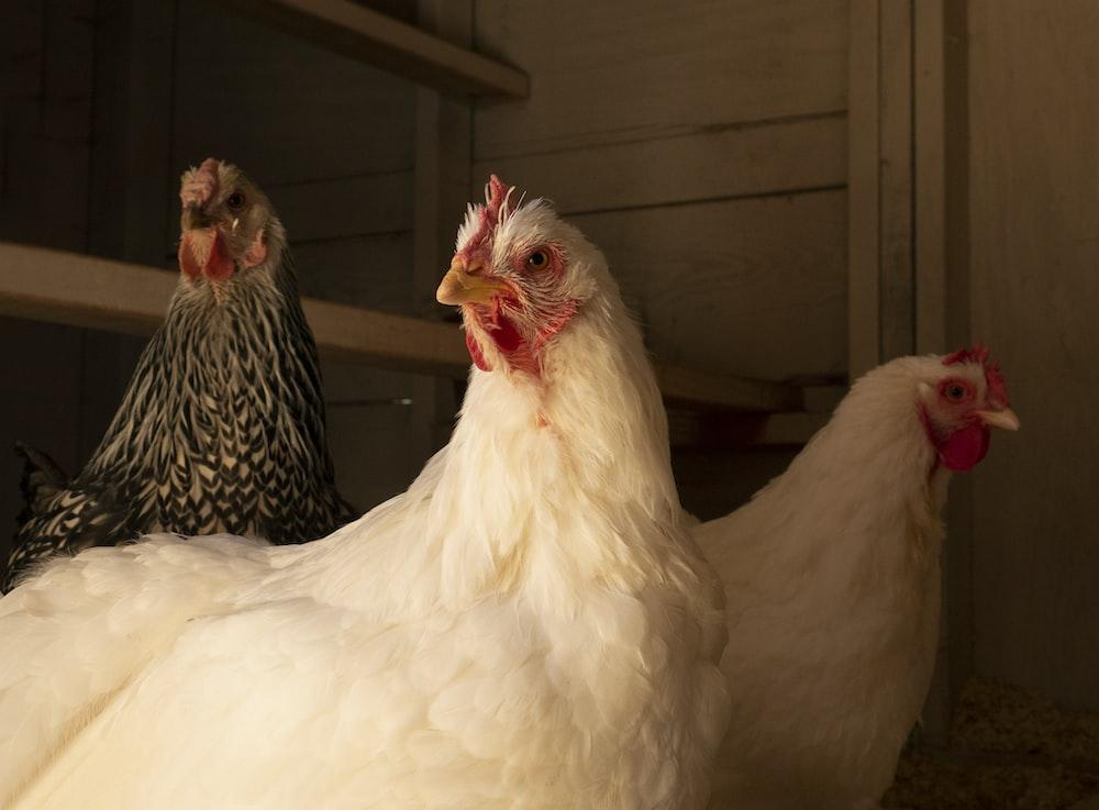 white chicken on brown wooden cage