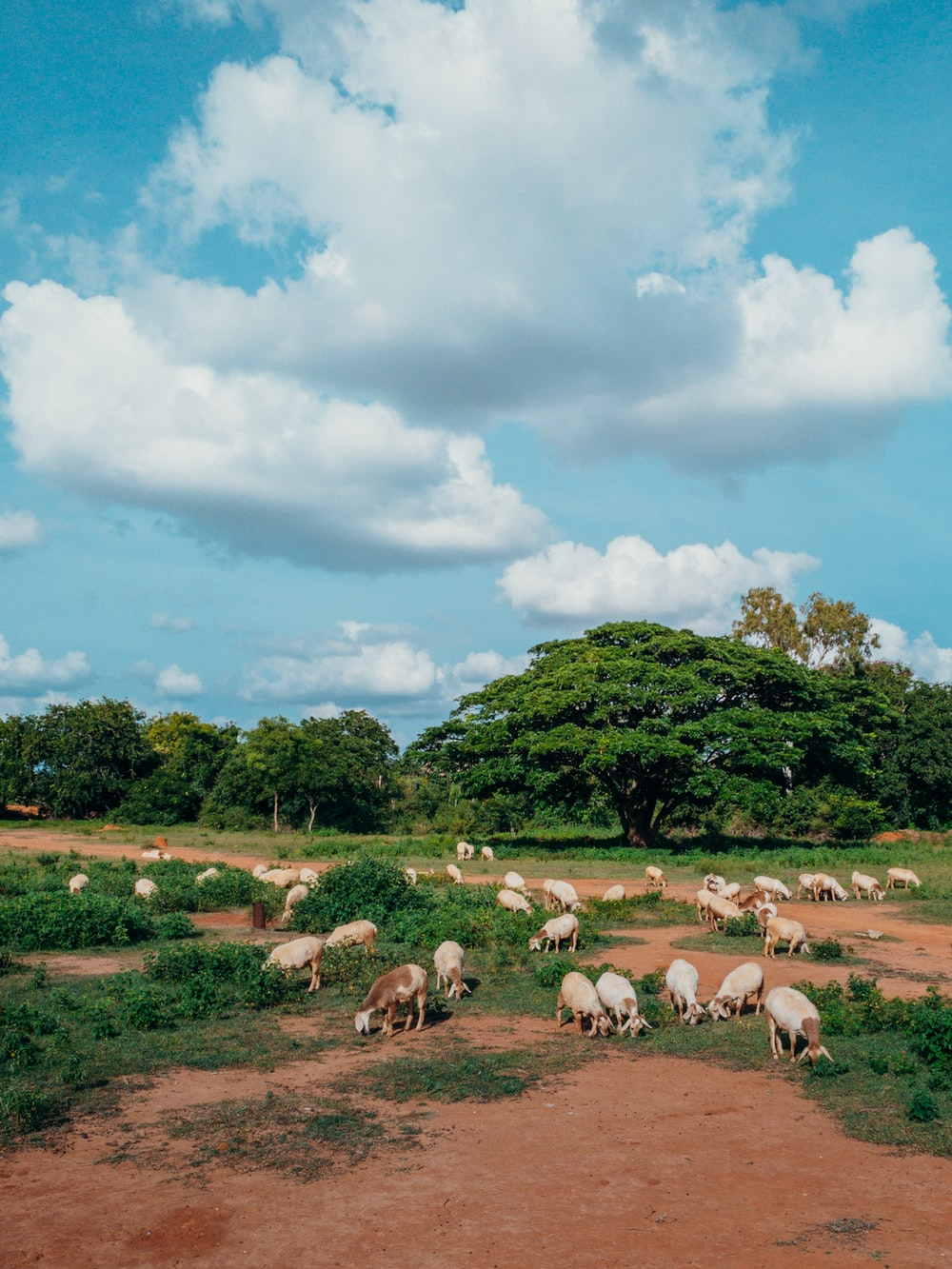 herd of sheep on green grass field under white clouds and blue sky during daytime