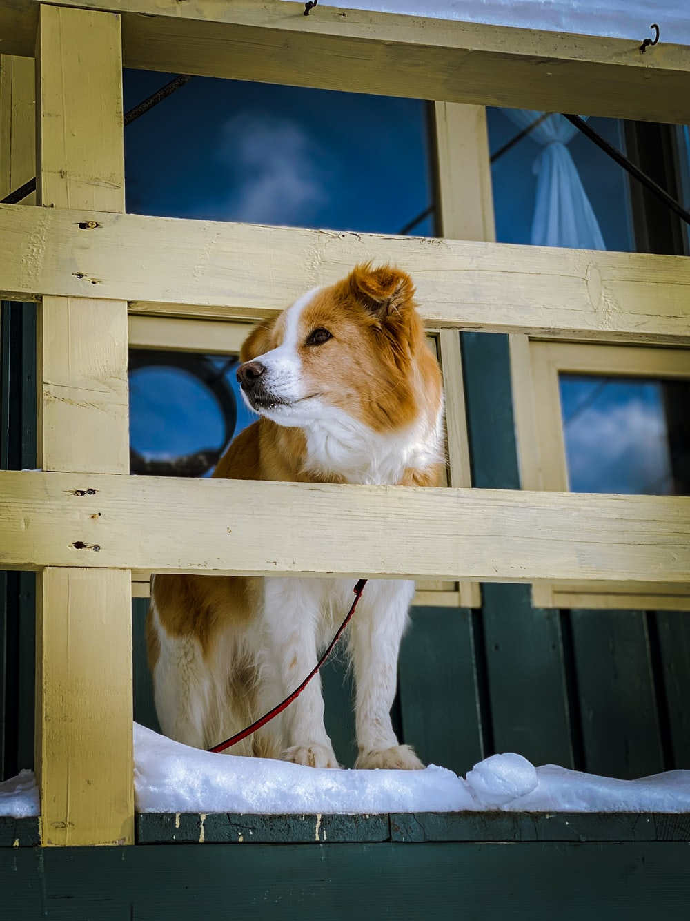 white and brown short coated dog on blue wooden pet cage