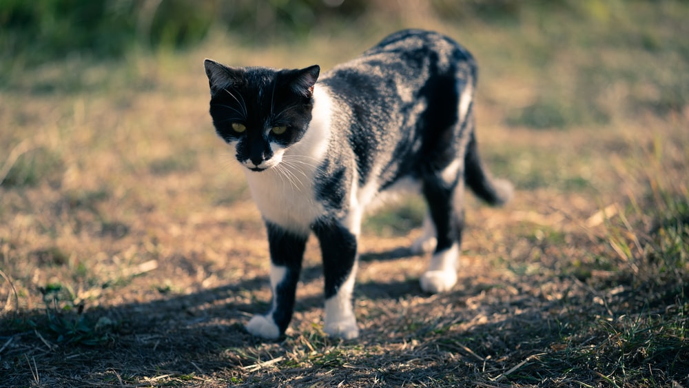 black and white cat on brown field