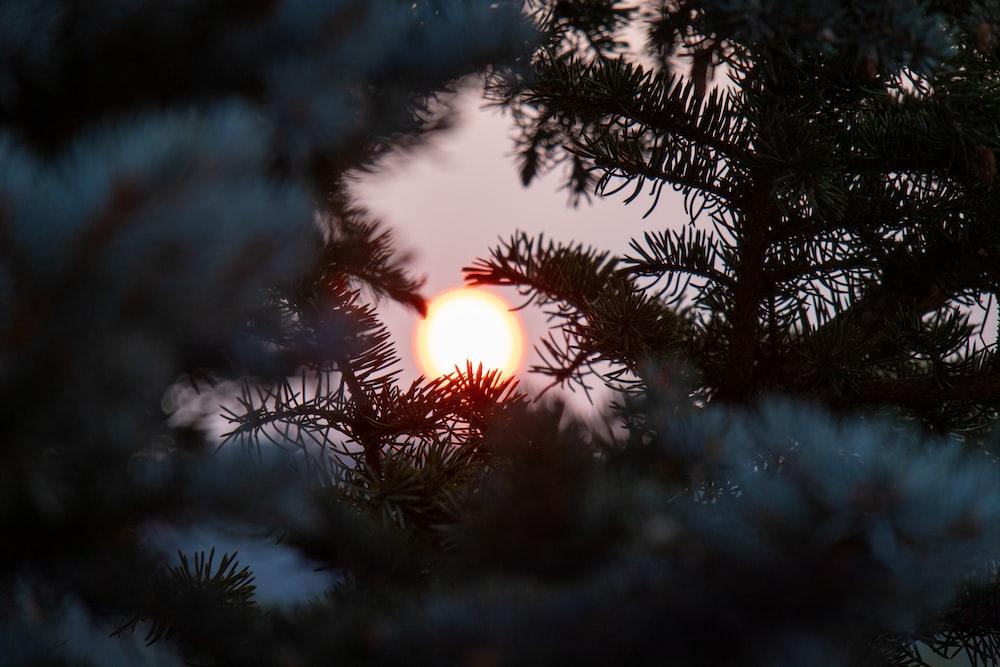 sun behind green pine tree