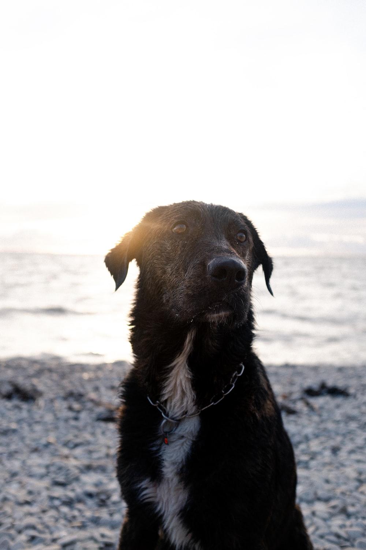 black labrador retriever with black leash on beach during daytime