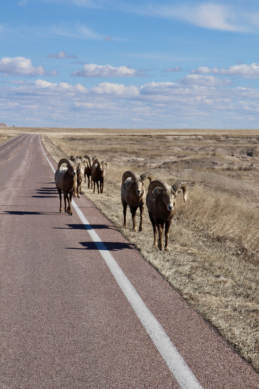 herd of sheep on road during daytime