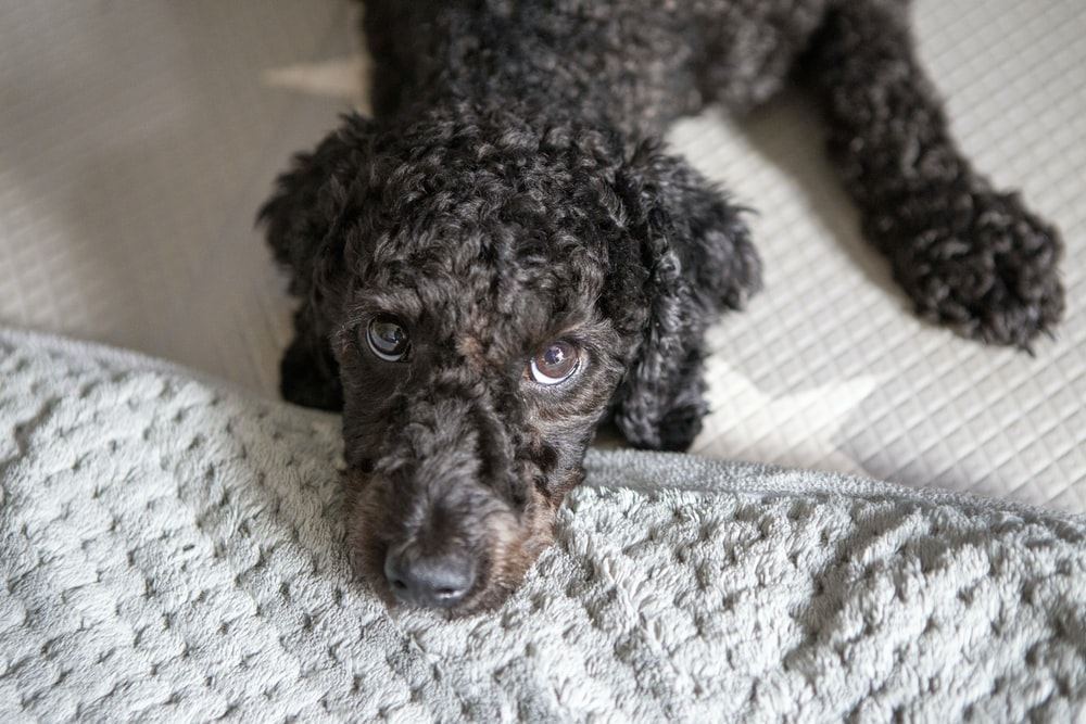 black poodle puppy on white and gray textile