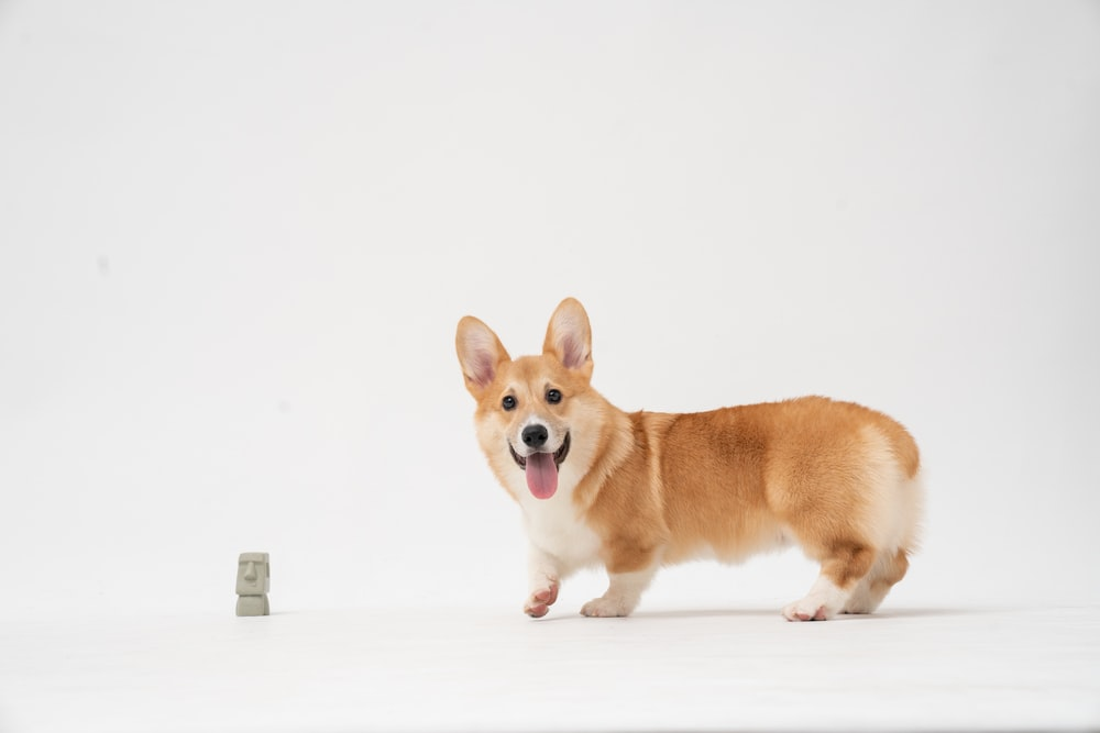 brown and white corgi puppy