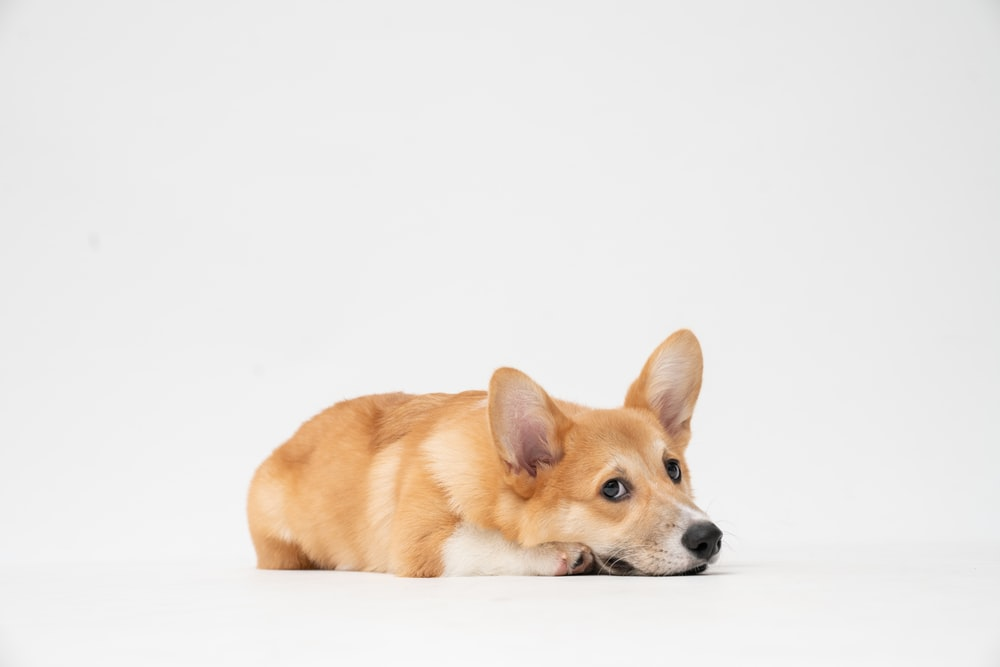 brown and white short coated dog lying on white surface