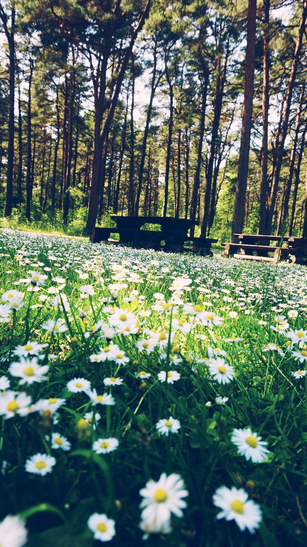 white flowers on green grass field near brown wooden bench during daytime