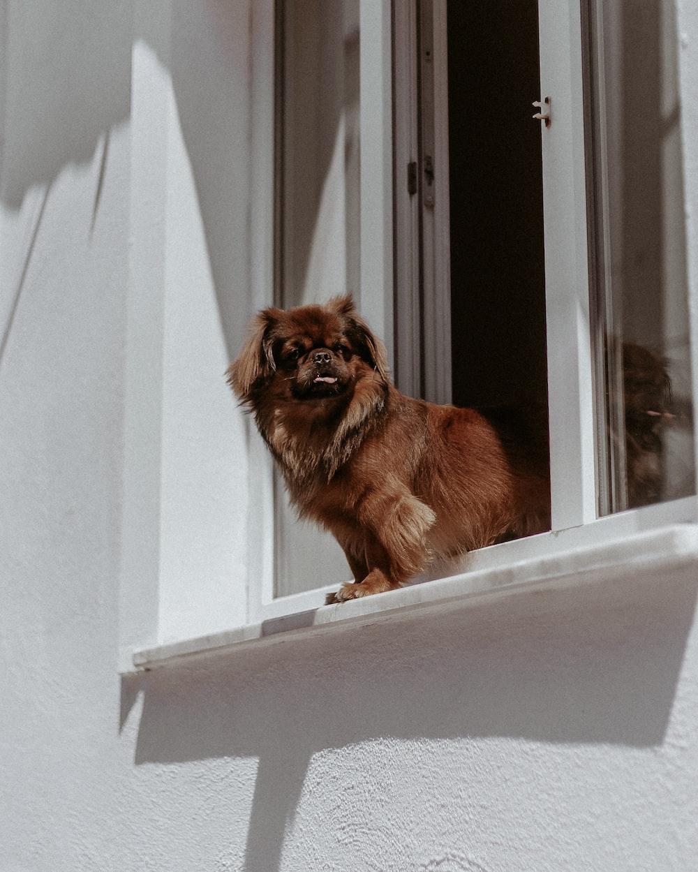 brown pomeranian on window during daytime