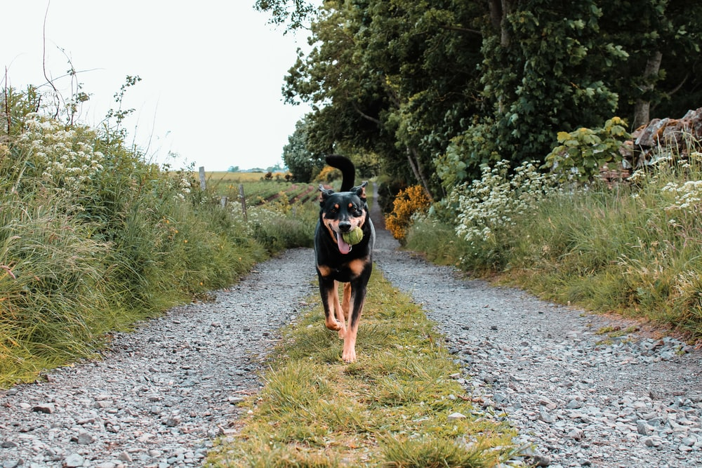 black and tan short coat medium sized dog walking on dirt road during daytime