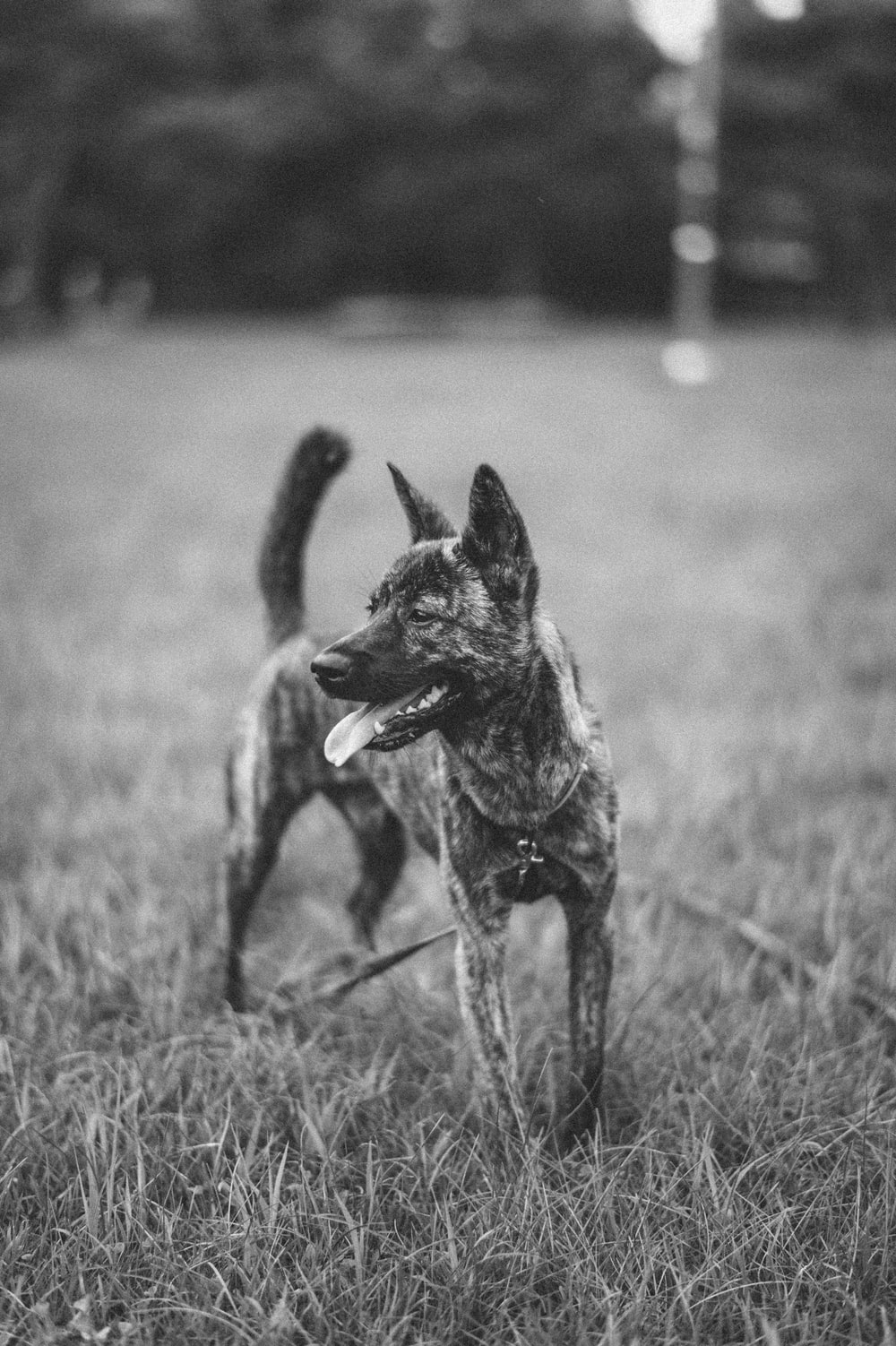 grayscale photo of short coated dog on grass field
