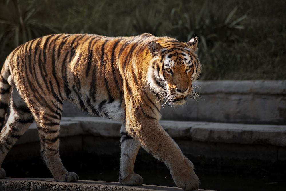 brown and black tiger walking on brown concrete floor