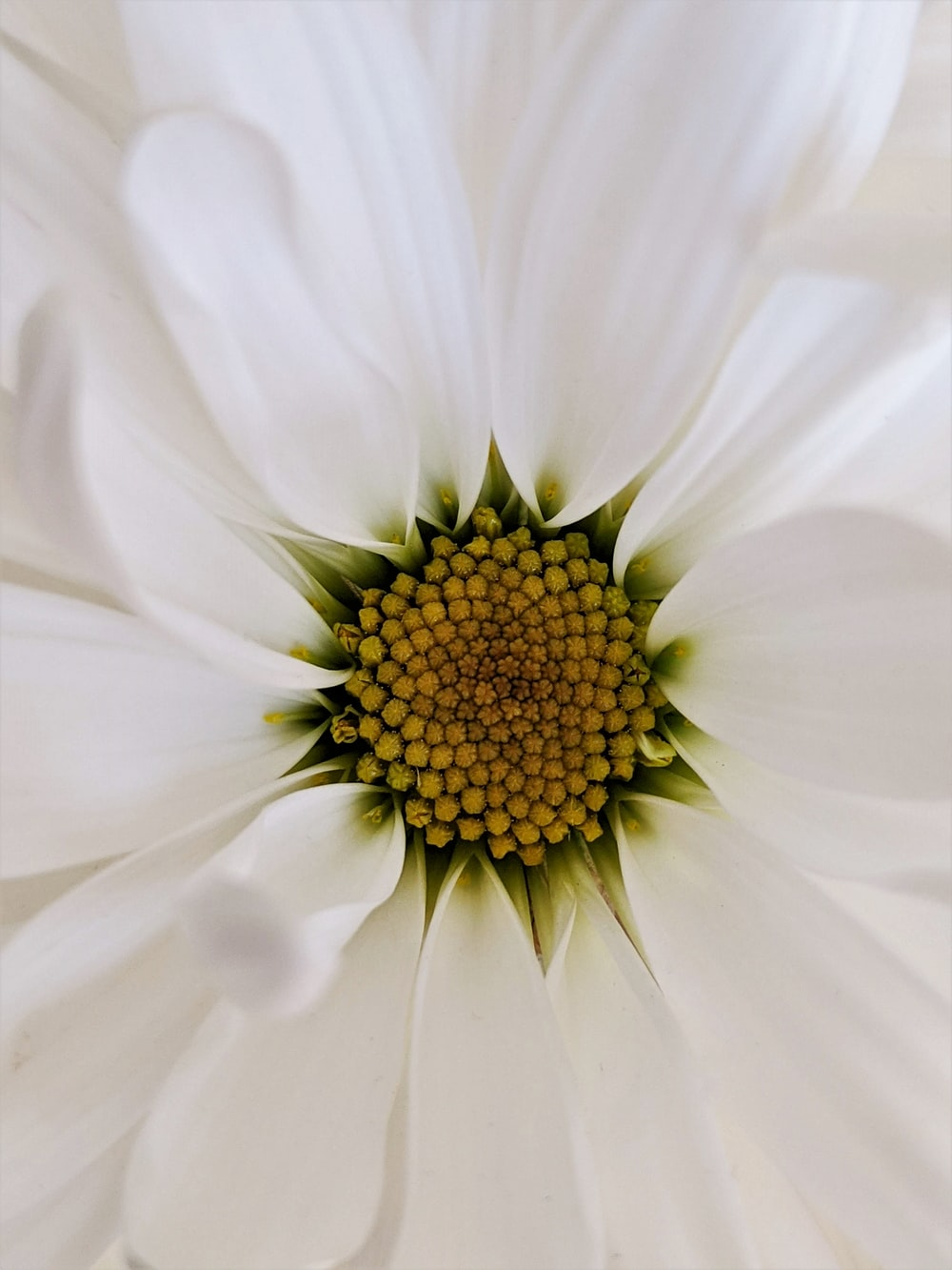 white daisy in bloom close up photo