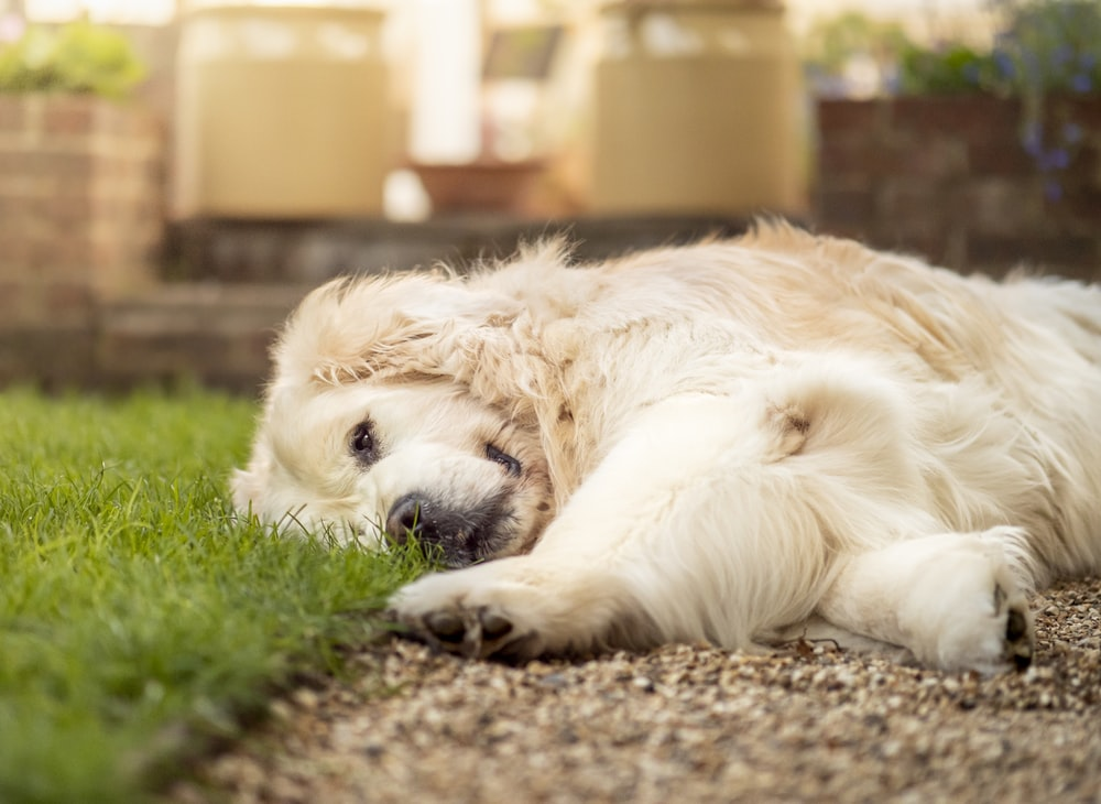 golden retriever lying on green grass during daytime
