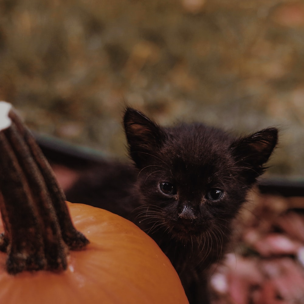 black kitten on pumpkin during daytime