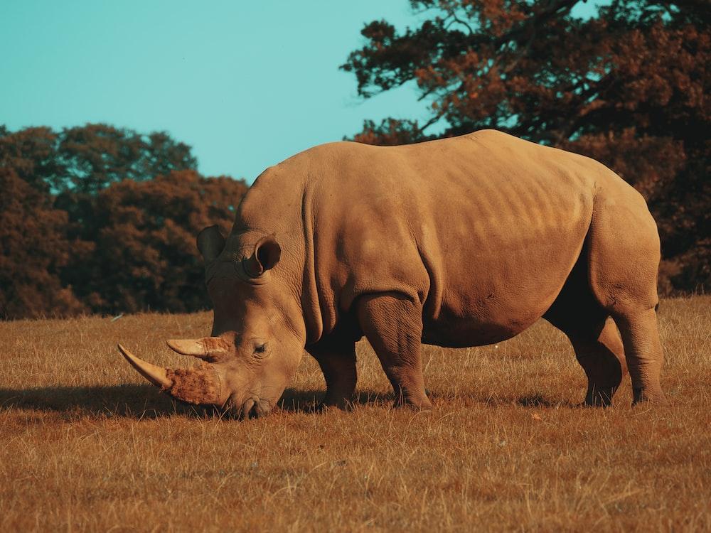 brown rhinoceros on brown grass field during daytime
