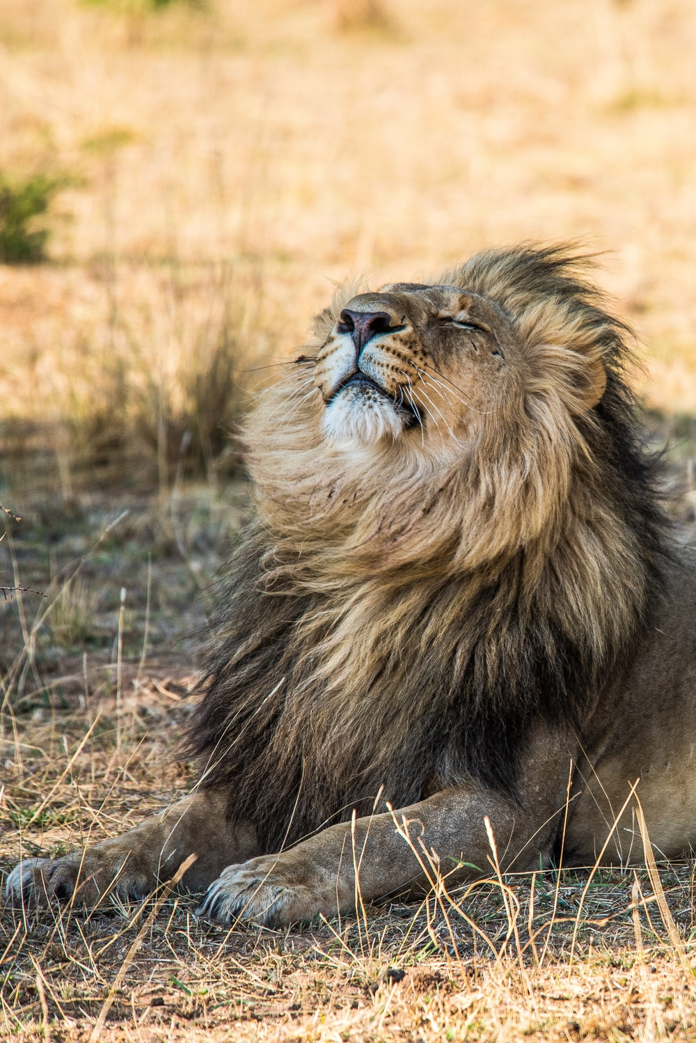 lion lying on brown grass during daytime