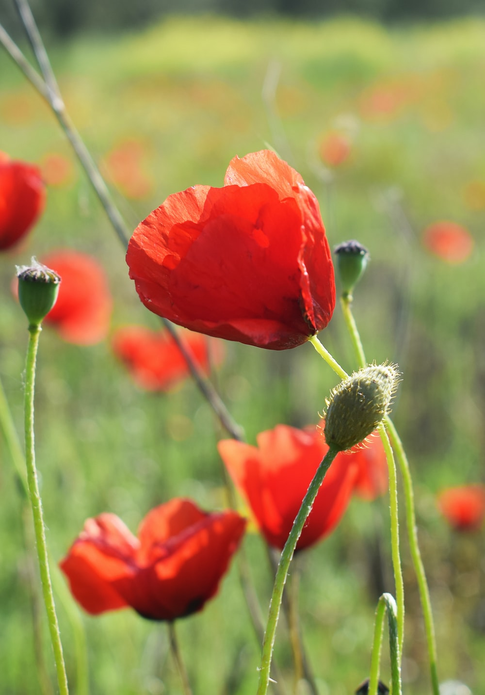 red poppy in bloom during daytime