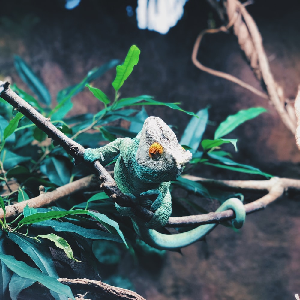 green and white chameleon on brown tree branch