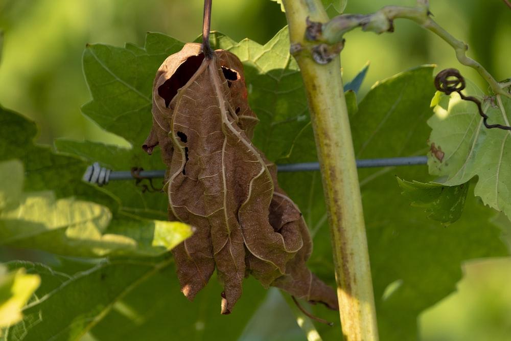 brown dried leaf on green stem