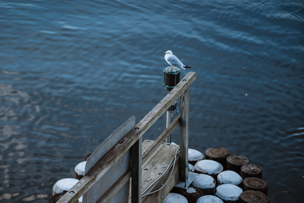 white and gray bird on brown wooden dock during daytime