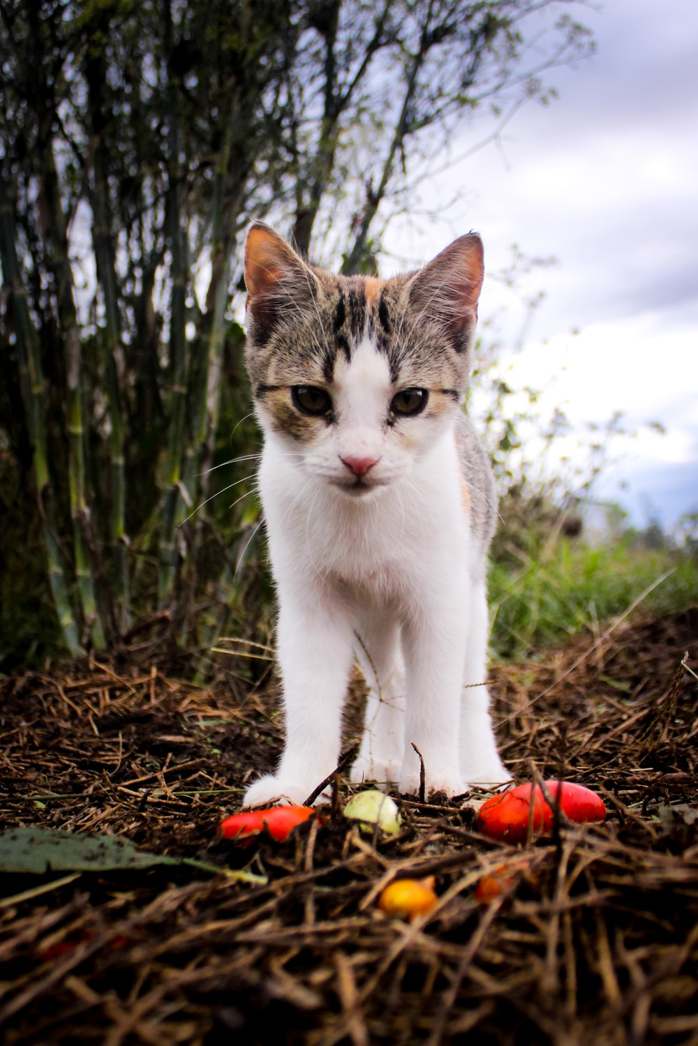 white and grey cat on brown dried leaves