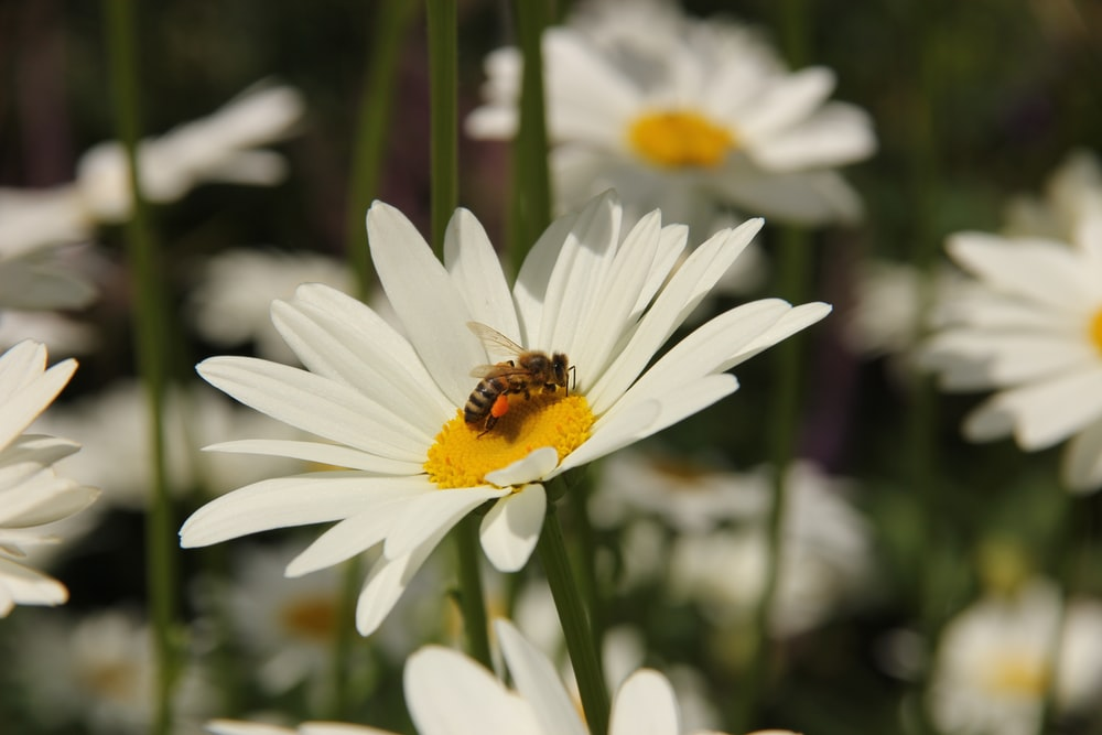 honeybee perched on white daisy in close up photography during daytime