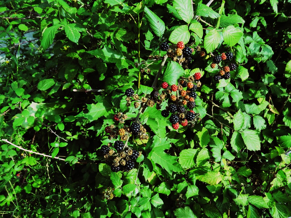 green plant with red and black fruits