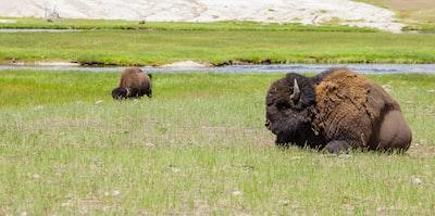 brown bison on green grass field during daytime bison zoom background