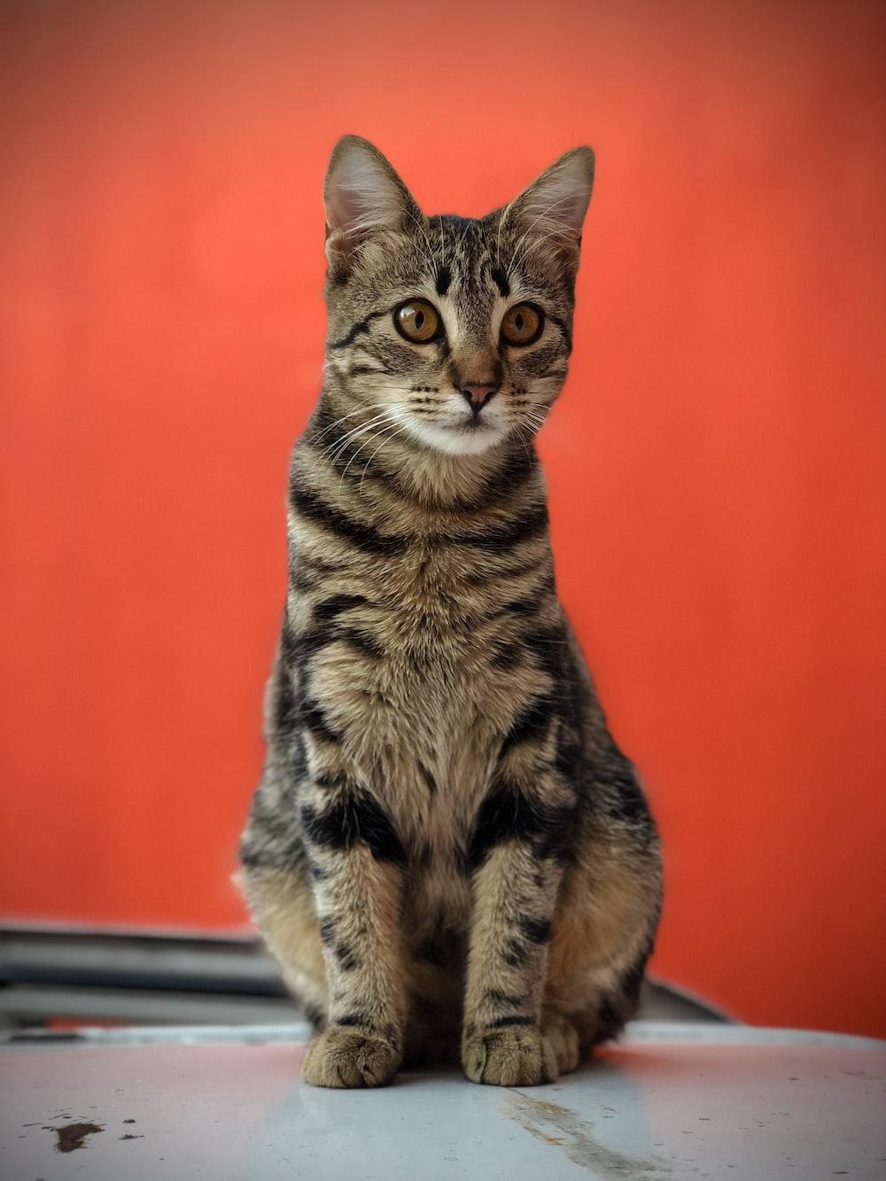 brown tabby cat on window