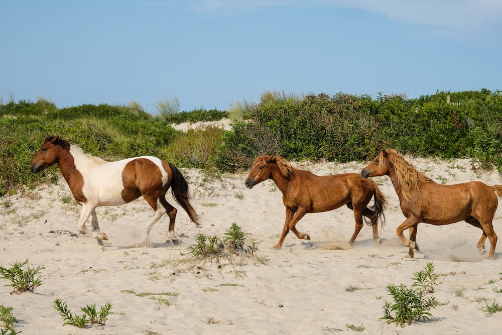 two brown and white horses on white sand during daytime