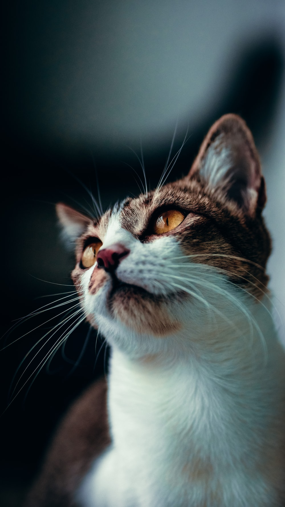 white and brown cat in black background