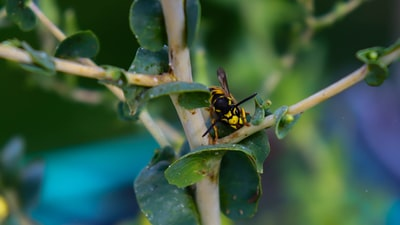yellow and black bee on green plant invertebrate teams background