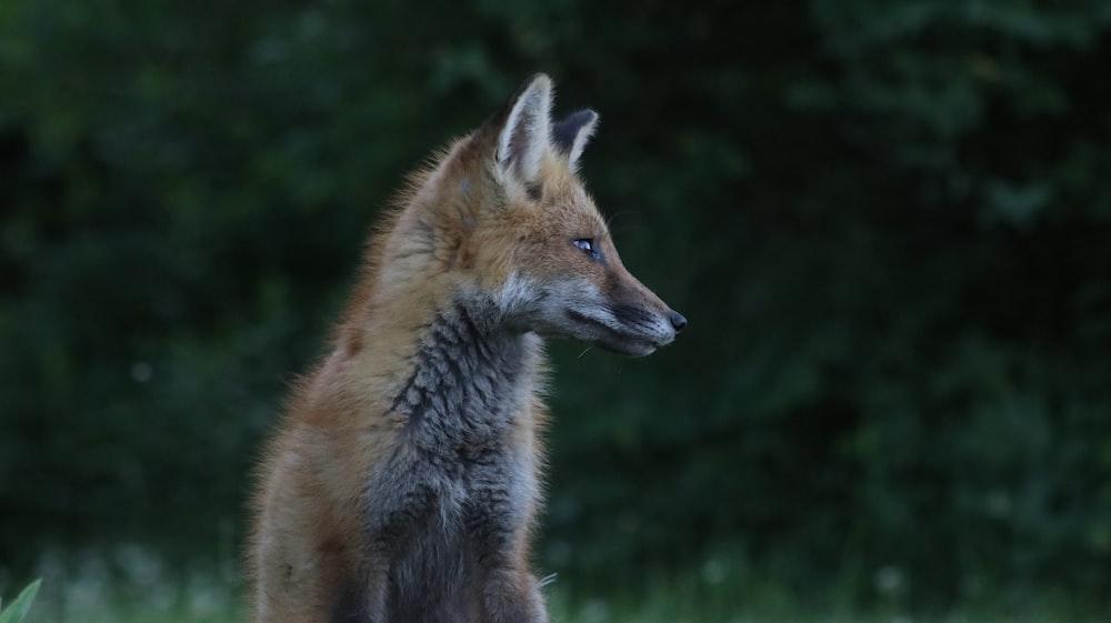 brown fox in green grass during daytime
