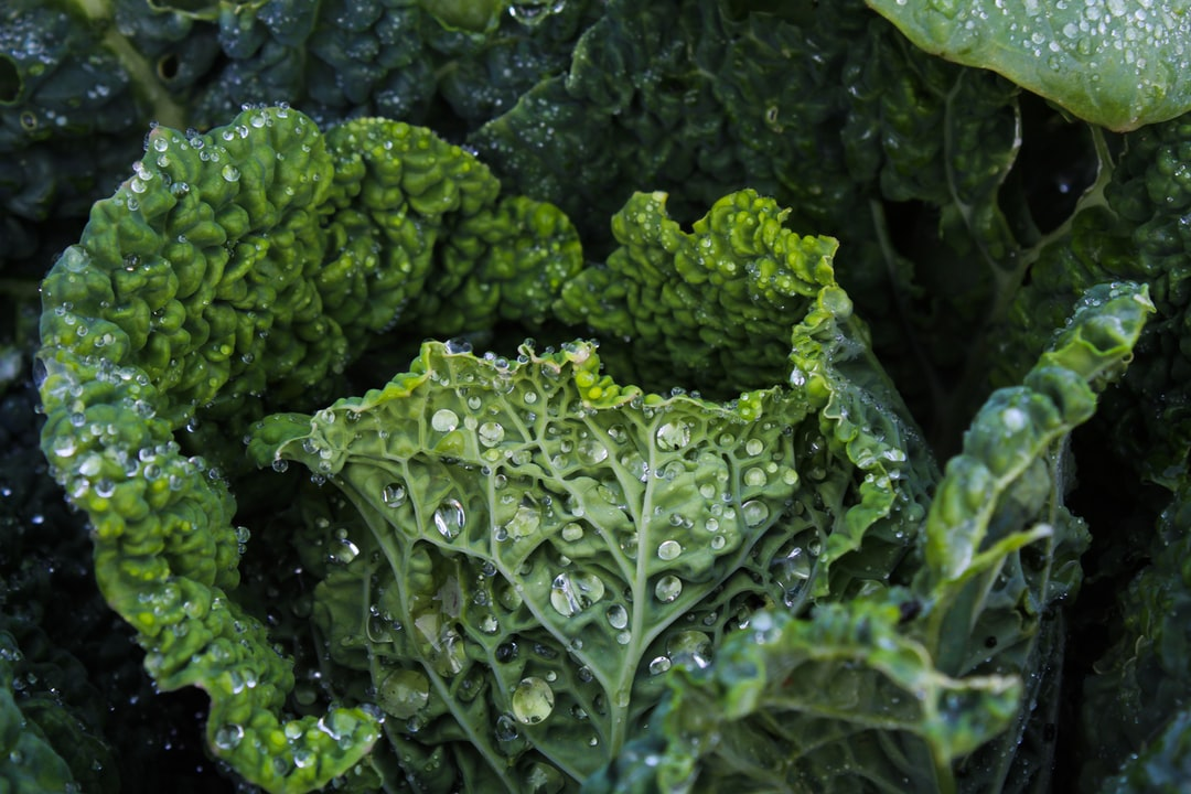Gardening Tips for Cabbage