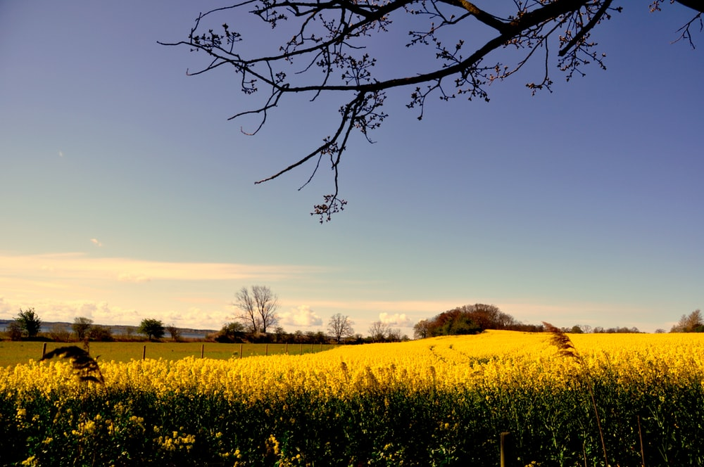 leafless tree on yellow flower field during daytime