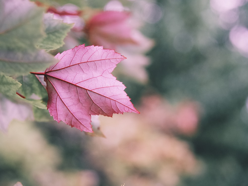 pink maple leaf in close up photography