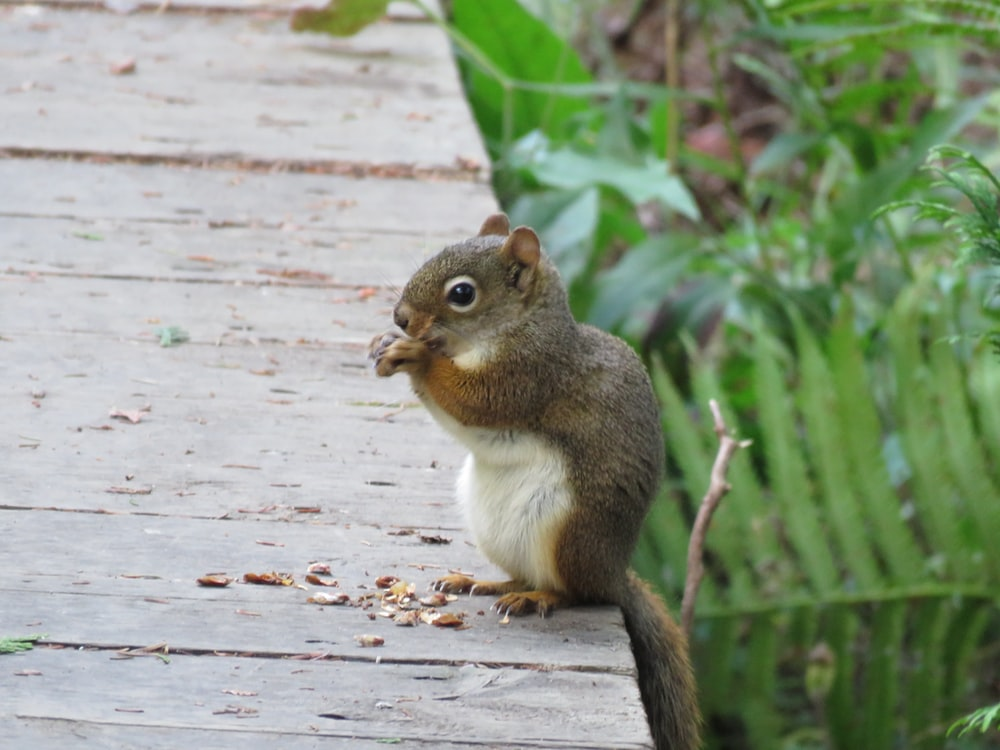 brown and white squirrel on brown wooden surface